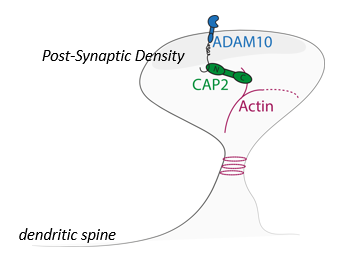 ADAM10 ACTIVATOR PEPTIDE FOR THE TREATMENT OF ALZHEIMER'S