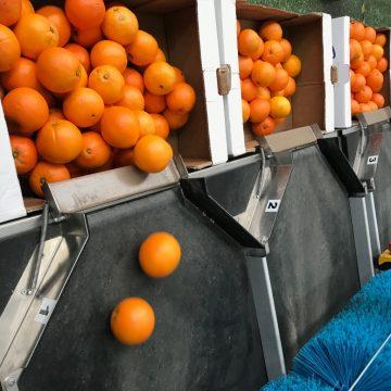 Metodo e apparato per la classificazione delle arance secondo il grado di succosità