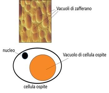 Produzione biotecnologica di apocarotenoidi ad elevato valore aggiunto