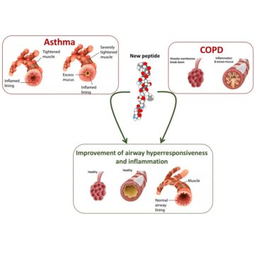 NEW PEPTIDE FOR COPD AND ASTHMA THERAPY